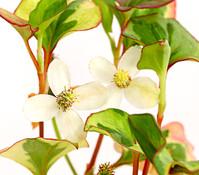 Dehner Chamäleonpflanze - Buntblatt - Eidechsenschwanz