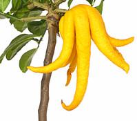 Dehner Citrus 'Buddha's Hand'