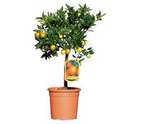 Dehner Citrus 'Kucle'