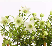 Dehner Clematis 'Evergreen' - Waldrebe