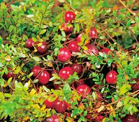 Dehner Cranberry 'Cranny'