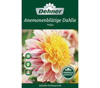 Dehner Dehner Premium Blumenzwiebel Anemonenblütige Dahlie 'Polka'