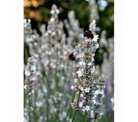 Dehner Downderry Lavendel 'Arctic Snow'