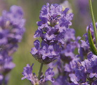 Dehner Downderry Lavendel 'Cedar Blue'