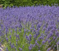 Dehner Downderry Lavendel 'Folgate'