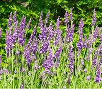 Dehner Downderry Lavendel 'Heavenly Night'
