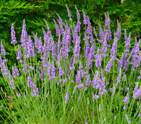 Dehner Downderry Lavendel 'Heavenly Scent'