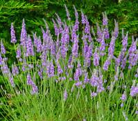 Dehner Downderry Lavendel 'Heavenly Scent'