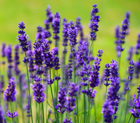 Dehner Downderry Lavendel 'Hidcote'