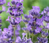 Dehner Downderry Lavendel 'Little Lady'