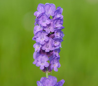 Dehner Downderry Lavendel 'Loddon Blue'