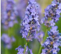 Dehner Downderry Lavendel 'Lullaby Blue'