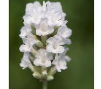 Dehner Downderry Lavendel 'Nana Alba'