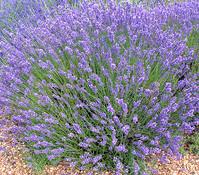 Dehner Downderry Lavendel 'No. 9'