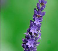 Dehner Downderry Lavendel 'Olympia'