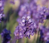 Dehner Downderry Lavendel 'Peter Pan', 8er Set