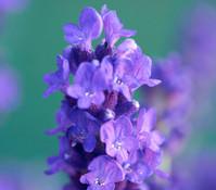 Dehner Downderry Lavendel 'Peter Pan'