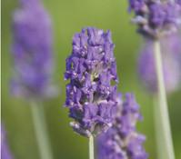 Dehner Downderry Lavendel 'Richard Gray'