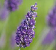 Dehner Downderry Lavendel 'Sawyers'
