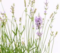 Dehner Downderry Lavendel 'Twickel Purple'