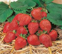 Dehner Erdbeer-Ampel 'Toscana'
