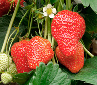 Dehner Erdbeere 'Elsanta', 8er Schale