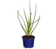 Dehner Erste-Hilfe-Pflanze