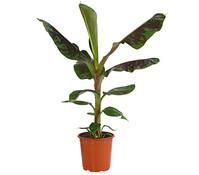 Dehner Ess-Banane 'Dwarf Cavendish'