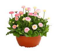 Dehner Gänseblümchen, Schale
