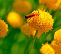 Dehner Goldknöpfchen