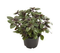 Dehner Gourmet Garten Basilikum 'Magic Blue'