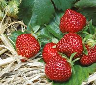 Dehner Gourmet Garten Erdbeere 'HUMMI®-Praline', 4er-Pack