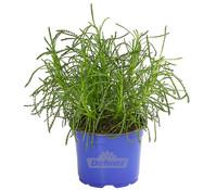 Dehner Gourmet Garten Olivenkraut