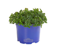 Dehner Gourmet Garten Oregano 'Hot and Spicy'