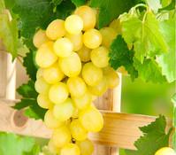 Dehner Gourmet Garten Wein 'Palatina'