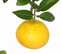 Dehner Grapefruit