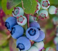 Dehner Heidelbeere 'Bluecrop'