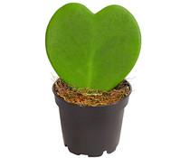 Dehner Herzblatt-Pflanze