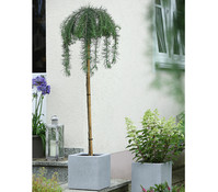 Dehner Japanische Hänge-Lärche 'Stiff Weeper', Stämmchen