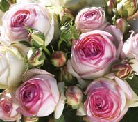 Dehner Kletterrose 'Eden Rose®'