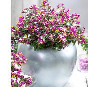 Dehner Kreuzblume 'Purple Passion'