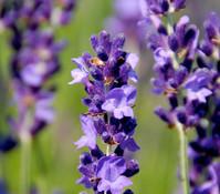 Dehner Lavendel, 6er Pack