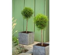 Dehner Lebensbaum 'Smaragd' - Stämmchen