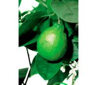 Dehner Limette 'Lima verde'
