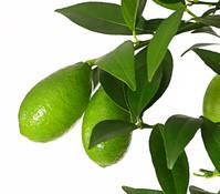 Dehner Limette 'Limequat'