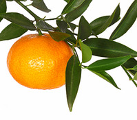Dehner Mandarine