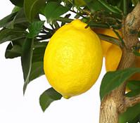 Dehner Meyer-Zitrone