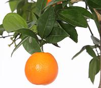 Dehner Orange