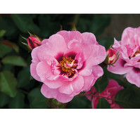 Dehner Persische Rosen in verschiedenen Sorten