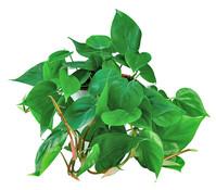Dehner Philodendron, Ampel